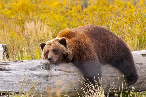 grizzly-bear-hibernation-biology-may-be-key-diabetes
