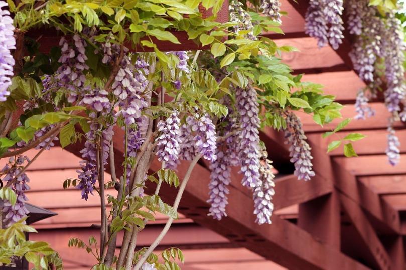 wisteria-1152229_960_720